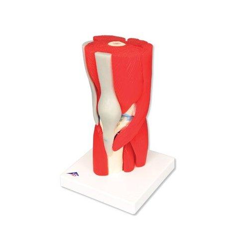 Model lidského kolenního kloubu s odnímatelnými svaly - 12 částí