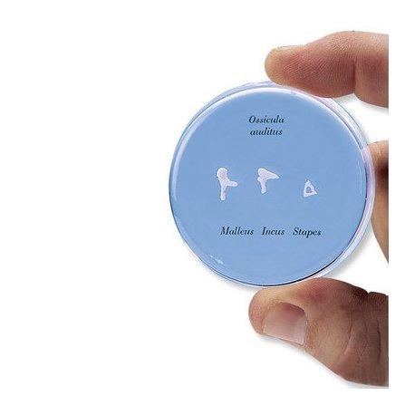 Model lidských sluchových kůstek - v životní velikosti
