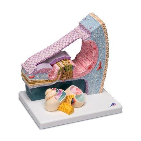 Model lidského Cortiho orgánu