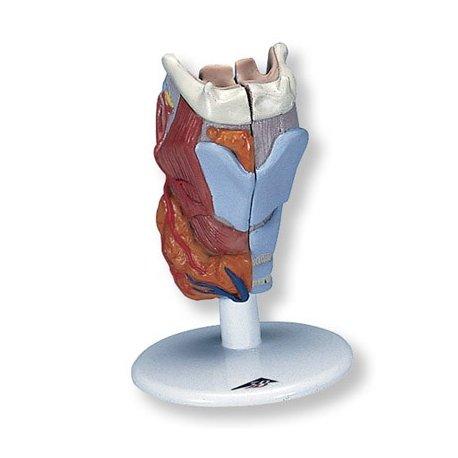 Model lidského hrtanu - 2 části
