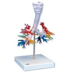 Model lidského bronchiálního stromu s hrtanem