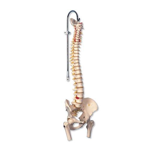Model lidské páteře s hlavičkami stehenních kostí - pružný
