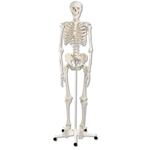 PŮJČOVNA Model lidské kostry standardní - na pojízdném stojanu