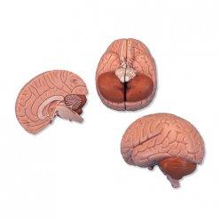 PŮJČOVNA Model lidského mozku - 2 části