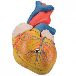 PŮJČOVNA Model lidského srdce - klasický - 2 části
