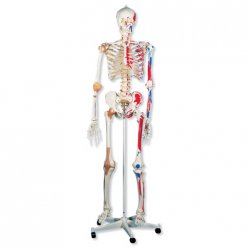 Model lidské kostry - super - se svaly a vazy - na závěsném stojanu