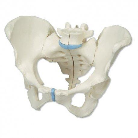 Model kostry lidské pánve - ženské - 3 části