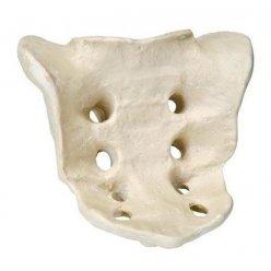 Model lidské křížové kosti - ORTHObones