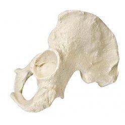 Model lidské pánve - polovina - mužská - ORTHObones