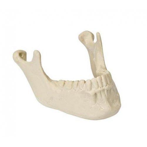 Model lidské spodní čelisti se zuby - ORTHObones