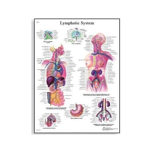 Schéma - lidský lymfatický systém - AJ - 50x67 cm