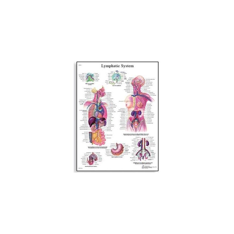 Schéma - lidský lymfatický systém - 50x67 cm