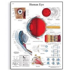 Schéma - lidské oko - 50x67 cm