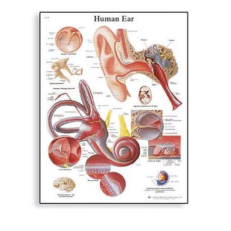 Schéma - lidské ucho - 50x67 cm
