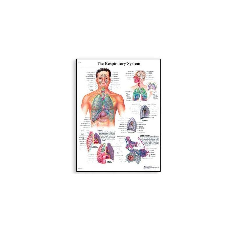 Schéma - lidská dýchací soustava - 50x67 cm