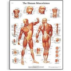 Schéma - lidské svalstvo - AJ - 50x67 cm