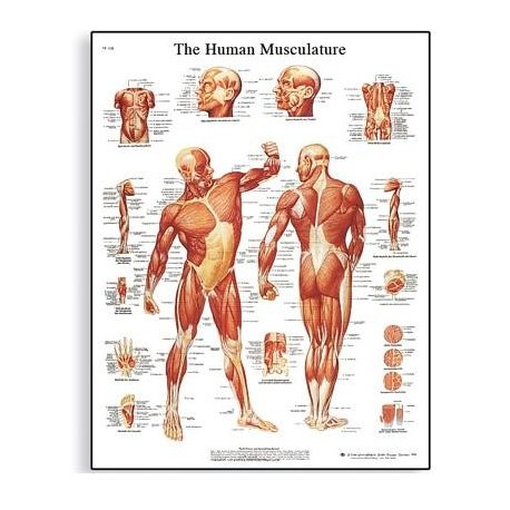 Schéma - lidské svalstvo - 50x67 cm