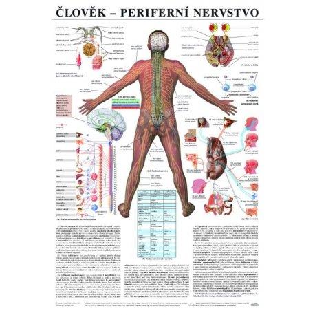 Schéma - lidské periferní nervstvo - 67x96 cm