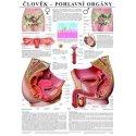 Schéma - lidské pohlavní orgány - CZ - 67x96 cm