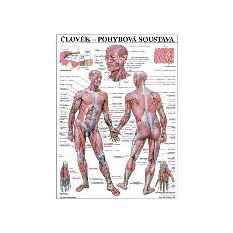 Schéma - lidská pohybová soustava - 67x96 cm