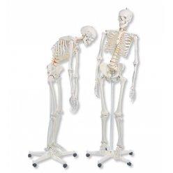 Model lidské kostry - ohebný - ruka a noha spojená drátem - na pojízdném stojanu