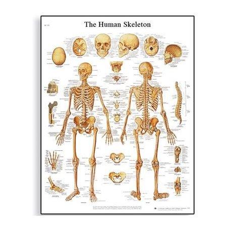 Schéma - lidská kostra - 50x67 cm