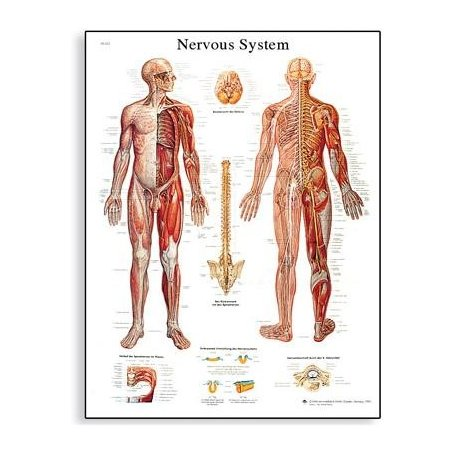 Schéma - lidský nervový systém - 50x67 cm