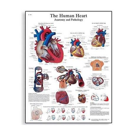 Schéma - lidské srdce - 50x67 cm