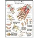 Schéma - lidská ruka a zápěstí - AJ - 50x67 cm