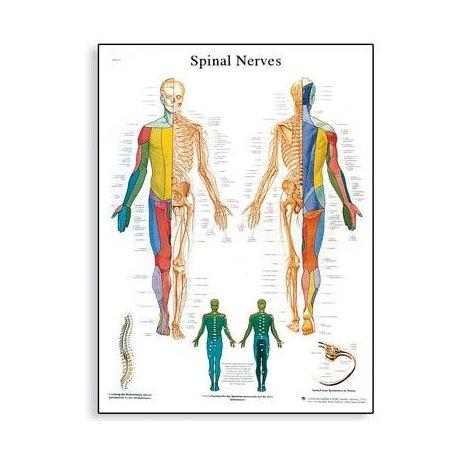 Schéma - spinální nervy - 50x67 cm