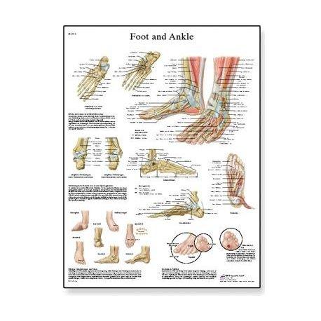 Schéma - lidská noha a kotník - 50x67 cm