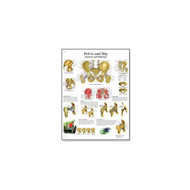Schéma - lidská pánev a kyčel - 50x67 cm