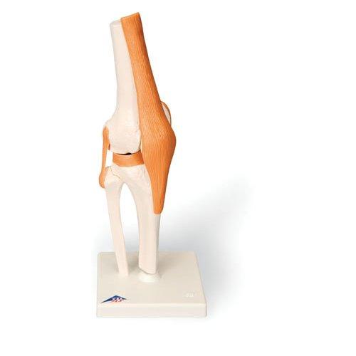 Model lidského kolenního kloubu - funkční