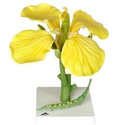 Řepka olejná - Brassica napus