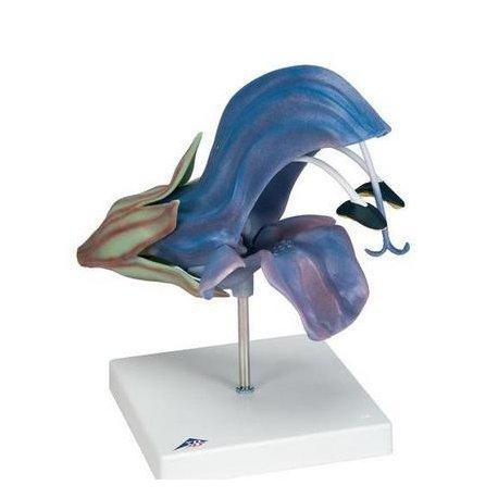 Šalvěj lúční - Salvia pratensis