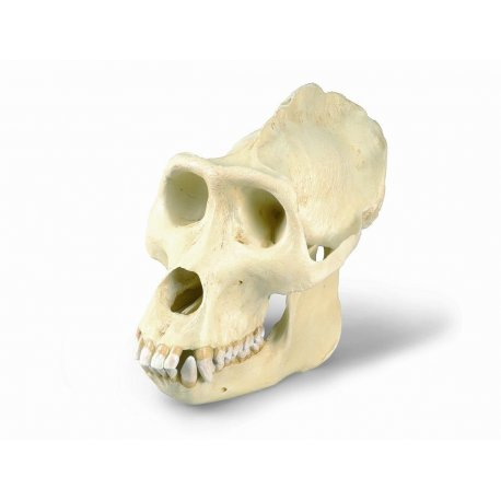 Gorila - gorilla gorilla - lebka samce