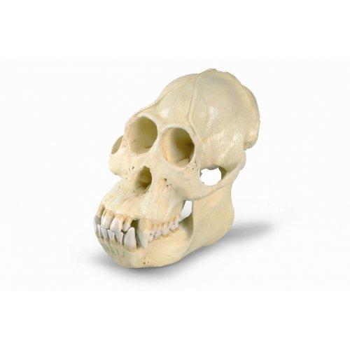 Orangutan bornejský - Pongo pygmaeus - lebka samce