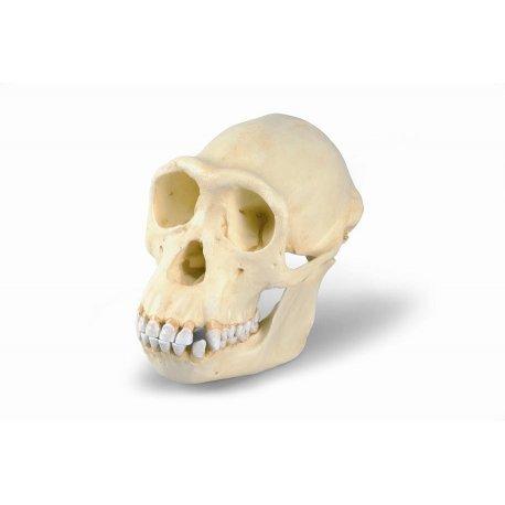 Šimpanz učenlivý - Pan troglodytes - lebka samičky