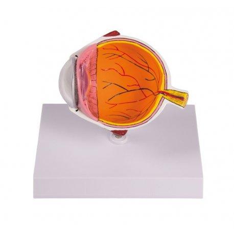 Model řezu lidským okem - zvětšeno