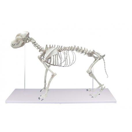 Kostra psa domácího - Canis domesticus