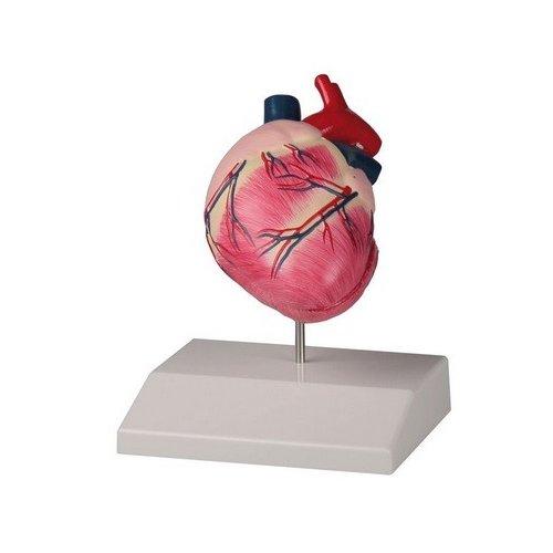 Model srdce psa domácího