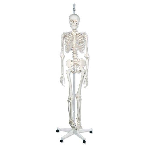 Model lidské kostry - fyziologický - na závěsném stojanu