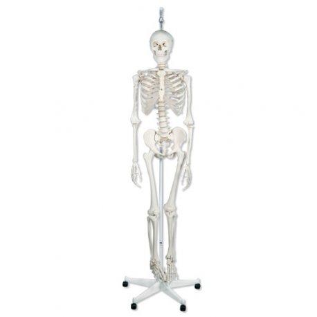 Model kostry - kostra fyziologická