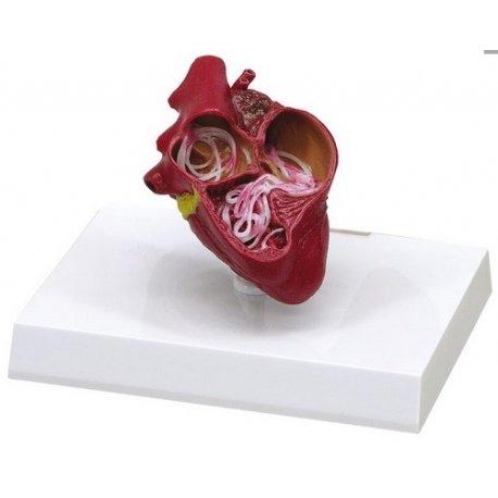 Model srdce psa s srdečním červem