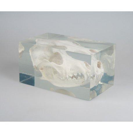Model lebky psa v plastovém kvádru
