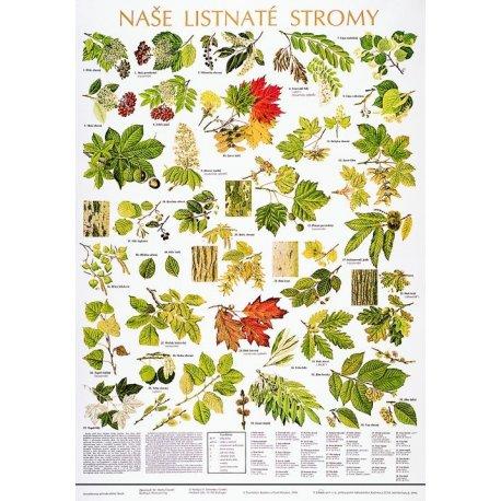 Schéma - naše listnaté stromy