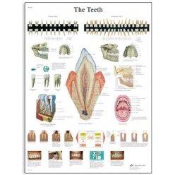Schéma - lidské zuby - AJ - 50x67 cm