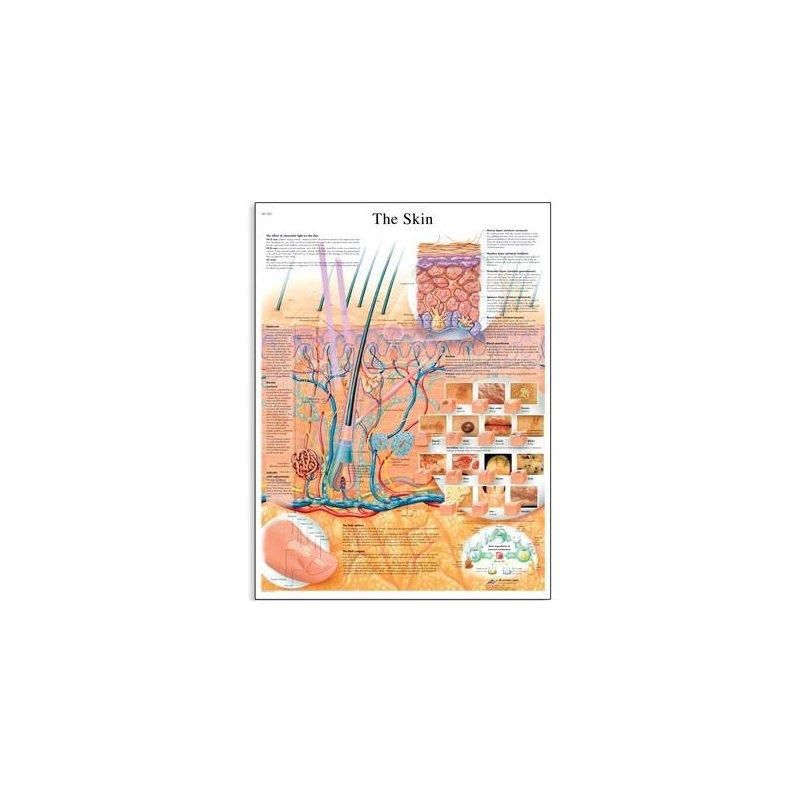 Schéma - lidská kůže - AJ - 50x67 cm