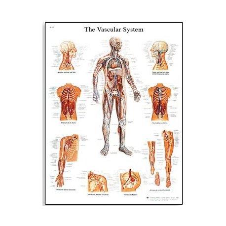Schéma - lidský cévní systém - AJ - 50x67 cm