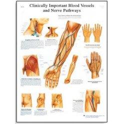 Schéma - nejdůležitější cévy a nervy člověka - AJ - 50x67 cm